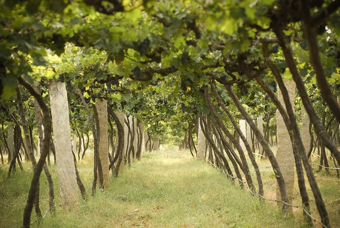 Indian_wine_grover_vineyards_05