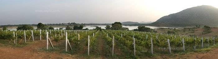 Indian_wine_grover_vineyards_41