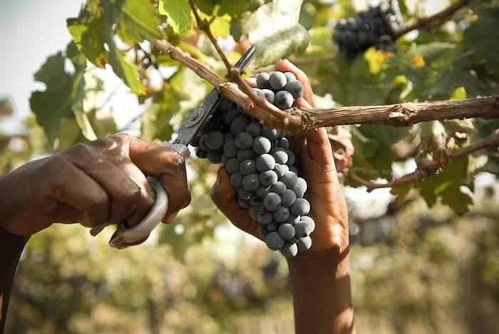 Indian_wine_grover_vineyards_47